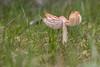 Ballerina Waxcap (Porpolomopsis calyptriformis) (markhortonphotography) Tags: mycology autumn surrey mushroom macro fungi markhortonphotography nature fungus tutu ballerinawaxcap toadstool waxcap porpolomopsiscalyptriformis thatmacroguy pinkwaxcap