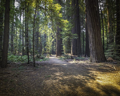Spotlit paths (aerojad) Tags: eos canon 80d dslr 2017 summer outdoors california roadtrip vac vacation travel wanderlust forest redwoods redwoodforest avenueofthegiants 101 hwy101 highway101 rainforest temperaterainforest landscape sunbeam sunshine forestfloor nature