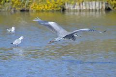 Grey heron in-flight (dfromonteil) Tags: héron bird oiseau lac lake water eau vol flight libre free freedom liberté bokeh animal nature camargue provence light lumière shadow