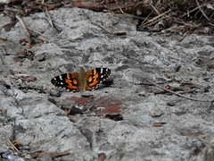 A Red Admiral Butterfly at my campsite on Grand Manan Island (Bay of Fundy), New Brunswick (Ullysses) Tags: redadmiralbutterfly grandmananisland bayoffundy newbrunswick canada summer été vanessaatalanta northhead