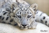 Snow Leopard Cub (ToddLahman) Tags: snowleopard leopard cub baby mammal beautiful portrait photooftheday eyelock losangeles lazoo male canon7dmkii canon canon100400 closeup unkleramil malaya bajen