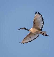 Sacred Ibis (Matt OZW) Tags: namibia bird