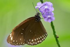 DSC04129 (denn22) Tags: butterfly schmetterling papillon denn22 september 2017 ilce7rm2 a7rm2 70200mmf28gmoss