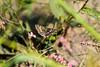 Common checkered-skipper (cricketsblog) Tags: melissamcmasters taxonomy:kingdom=animalia animalia taxonomy:phylum=arthropoda arthropoda taxonomy:subphylum=hexapoda hexapoda taxonomy:class=insecta insecta taxonomy:subclass=pterygota pterygota taxonomy:order=lepidoptera lepidoptera taxonomy:superfamily=papilionoidea papilionoidea taxonomy:family=hesperiidae hesperiidae taxonomy:subfamily=pyrginae pyrginae taxonomy:tribe=pyrgini pyrgini taxonomy:genus=pyrgus pyrgus taxonomy:species=communis taxonomy:binomial=pyrguscommunis pyrguscommunis commoncheckeredskipper saltarinadetablero hespériedamiercommune taxonomy:common=commoncheckeredskipper taxonomy:common=saltarinadetablero taxonomy:common=hespériedamiercommune