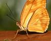 """Dryas iulia...( aka Julia Butterfly, Julia Heliconian)..."" (Kap'n'Kaos~Too) Tags: dryasiulia juliabutterfly juliaheliconian"