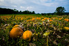 Pumpkin field (A.Dissing) Tags: pumpkin field yellow green nature farmer sky blue nayure amazing beautiful sony a7ii samsø denmark orange leaf awesome fall summer bokeh contrast flickr vacation landscape landskab clouds sun color colors pasture halloween food grass outdoor crop season garden daylight