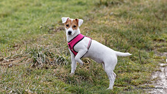 IMG_8451_web (hdenis67) Tags: 2017 canidés carnivores faune fidèle jackrussellterrier mammifère natureetpaysage