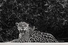 Jaguar (Thelma Gatuzzo) Tags: ponca félido yaguar southamerica animal brasil wildlife 2017 carnivora predator panthera bigcat fauna matogrosso onça pantheraonca mamal animalia thelmagatuzzophotography cat jaguar thelmagatuzzo© mammalia americadosul portojofre felidae selvagem felino pantanal feline wild america naturephotography brazil predador