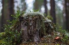 troll (Scandinavian folklore) (Stefano Rugolo) Tags: stefanorugolo pentax k5 troll bokeh woodland forest underwood tree treestump lichen moss mushroom fungi angle perspective