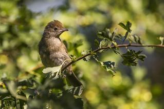 Blackcap - juvenile