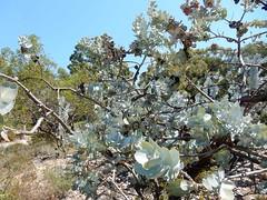 105_Perth_026_20151104_DSCN3502.jpg (urma2004) Tags: diashow länder australien bestimmen erlnichtweb erlweb flora kingspark westernaustralia