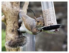 The Contortionist (Digital Wanderings) Tags: greysquirrel squirrel birdfeeder garden wildlife gardenwildlife