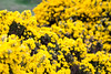 Gorse or Whin Yellow Wildflower Bush (felipetgarcia) Tags: northernireland unitedkingdom gb antrim causewaycoast ruins cemetaries