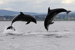 Moray Firth Dolphins (Ally.Kemp) Tags: moray firth dolphins dolphin fortrose chanonry point double breaching breach leaping blackisle bottlenose scottish scotland wild wildlife free jumping
