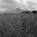Soja Field