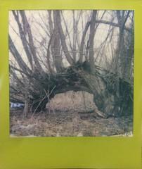 Nature's Creature (o_stap) Tags: woods forest instant analog polavoid filmisnotdead believeinfilm ishootfilm impossibleproject polaroid600 polaroid
