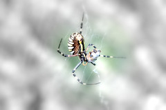 High Key for a wasp spider with its breakfast (DSC_0904_mm2) (dmnq_fenot) Tags: 7dwf fauna macromondays highkey