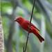 Tangara vermillon / Summer tanager