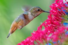 Hummingbird (Life of David) Tags: california camarillo canon5dmarkiv selasphorussasin usa wildlife allenshummingbird backyard beautiful beauty bird nature summer vogel oiseau uccello pájaro pássaro world100f