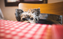 I just want to know what are you eating... (codeseven) Tags: littledog yorkshire terrier biewer biewerterrier smalldog dog table sleep switzerland portrait dogportrait 23mm fuji x 14 wideopen