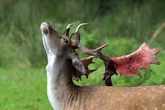 Antlers ready (Nephentes Phinena ☮) Tags: nikond500 sigma50500mmf463 wildparkeekholt fallowdeer damhirsch