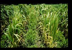 Cultivation Of Sutairo Santus = スタイロサンテスの栽培