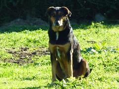 (G.O.Graphic) Tags: animals nature beautiful dog paddock outdoors newzealand geographic gographic grass pets artistic taranaki huntaway