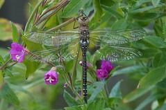 DSC03556 (simonbalk523) Tags: wildlife photography nature sony tamron rutland reservoir