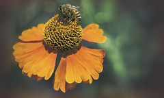 Hovercraft (charhedman - away on vacation) Tags: bee flower swing hover hovering bokeh lacyedges coneflower pollen