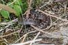 Adder - Viper berus - 1 (Matchman Devon) Tags: adder viper berus ringmore south hams devon tobys path