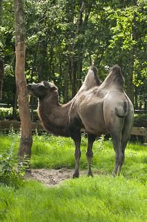 Camelus bactrianus - Bactrian camel