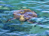 Maui Sea Turtle (Eddie Yerkish) Tags: maui sea turtle ocean swim explore snorkel wild animal nature hawaii travel photography nikon d7200 eyphotography outdoors close encounter