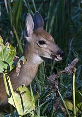 080817053429asmweb (ecwillet) Tags: whitetaildeer deer fawn wildwoodparkharrisburgpa nikon nikond500 nikon200500f56 ecwillet ericwillet
