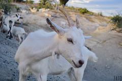 Miradas (Tato Avila) Tags: colombia huila desierto animal retrato miradas cabra cuernos colores cielos cálido naturaleza nikon ojos desiertodelatatacoa