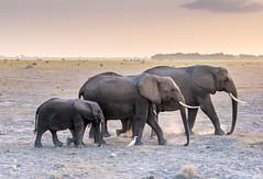 DSC_0149 (stacyjohnmack) Tags: africa kenya amboseli amboselinationalpark amboselli baby elephant family safari