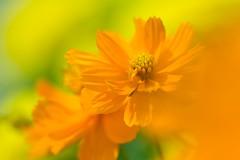Orange and green (SonjaS.) Tags: blumen bokeh orange green grün garten makro ringelblume marigold canon6de dov schärfentiefe