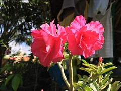 adenium obesum (danielalonzo34) Tags: kalachuchi adenium obesum rose philippines plant flower flowers