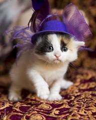 20170903_4420c (Fantasyfan.) Tags: kitten turkishvan turkish van hat kuunkissan fantasyfanin kuukissan damla dilek