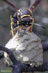 Heath potter wasp: egg III (Dom Greves) Tags: august behaviour clay egg eumenescoarctatus female heathpotterwasp heather heathland insect invertebrate laying nest pot summer surrey uk wildlife