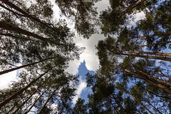 up ([-ChristiaN-]) Tags: bäume trees upwards aufwärts himmel sky summer clouds wolken sommer wetter weather light licht pov perspektive