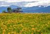 IMG_8005 (Rj Wu) Tags: 台灣 台東 池上 六十石山 金針花 花東縱谷 夕陽 黃昏 雲 天空 山 山谷 植物 太陽 耶穌光 斜射光 霞光 風景