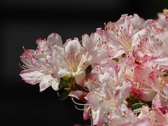 Pretty in Pink IV (m_artijn) Tags: pretty pink blossom toji temple kyoto jpn flower dark white closeup