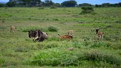 Run! (John Kok) Tags: tanzania ndutu april2017 cheetah acinonyxjubatus nikkor20050056evr2