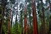 A Grove of Beautiful Sequoias and Evergreen Trees Around the General Sherman Tree (Sequoia National Park) (thor_mark ) Tags: nikond800e day8 triptopasoroblesandyosemite sequoianationalpark lookingsw capturenx2edited colorefexpro sequoiaandkingscanyonnationalparks unescosequoiakingscanyonbiospherereserve sequoiakingscanyonbiospherereserve giantsequoias outside trees hillsideoftrees evergreens landscape nature talltrees talltreesallaround sequoiadendrongiganteum lookingup lookingupatsky lookingupatskythroughtrees lookingupatskythrutrees lookinguptosky overcast redwoods pacificranges sierranevada sequoiasierranevada westernsequioakingscanyonarea walktothegeneralshermantree thegeneralshermantrail thegeneralshermantree largestbyvolumetreeintheworld project365 portfolio canvas california unitedstates