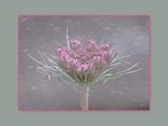 Portrait of a weed. (jangurney) Tags: fujis1 carrot weed flower pink closeup framed