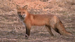 Red Fox In Barren Cornfield At Sundown (Direwolf131) Tags: