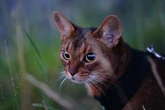 Lizzie (DizzieMizzieLizzie - Off for a while) Tags: abyssinian aby beautiful wonderful lizzie dizziemizzielizzie portrait cat chats feline gato gatto katt katze katzen kot meow mirrorless pisica sony a6500 animal pet 2017 sigma