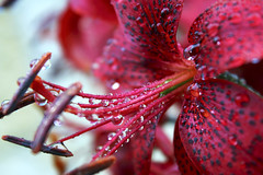 after the rain (alutik) Tags: nature flower floral beauty beautiful bloom blossom botanical red pink petals drops droplets waterdrops raindrops bright summer macro closeup canon colors color colorful efs1855mmf3556iii 70d russia lily tigerlily россия пушкинскиегоры dof deapthoffield
