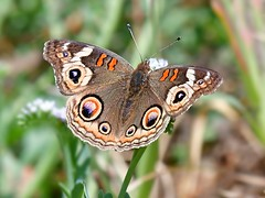 The eyes have it (vnelson) Tags: insects butterflies