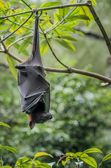Just hanging around trying to grab a nap.jpg (Darren Berg) Tags: singapore flying fox bat wings leathery upside down inverted resting sleeping hanging nose snout fruit